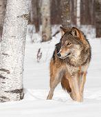 Grey Wolf (Canis lupus) Walks Around Birch Tree - captive animal poster
