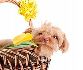 Decorative doggie in a basket. Puppy as a gift. Dog and flowers. Shaggy small doggie. Decorative thoroughbred dog. Puppy of the Petersburg orchid. poster