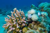 coral reef with hard and soft corals at the bottom of red sea in egypt poster