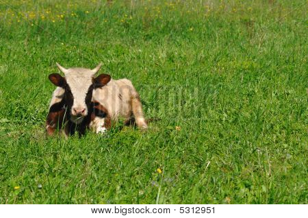 Cow Lying On Grass