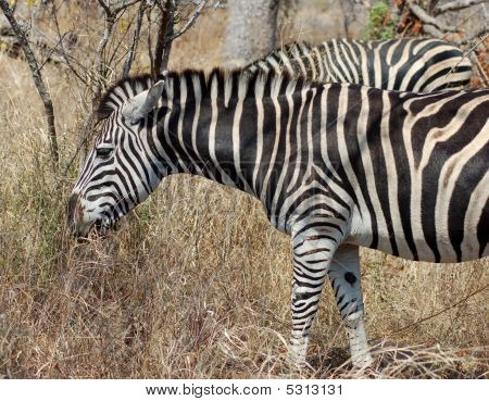 A Burchells Zebra (Equus quagga burchelli) in the Kruger Park South Africa. poster