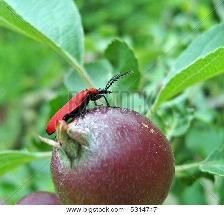 Red bug sitting on apple. Life of insects. poster