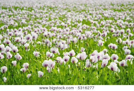 Poppy Field (papaver Somniferum)