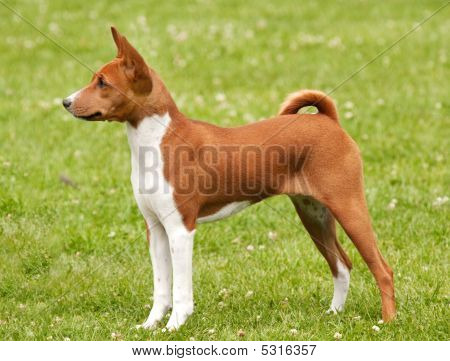 Red Puppy Standing