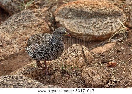 Cape Spurfowl or Cape Francolin (Pternistis capensis)