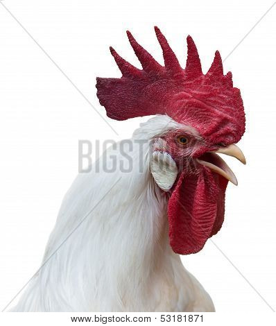 White Rooster With A Large Red Comb