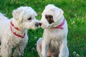 Dog friendship, two puppies sniffing each other. White dogo argentino. poster