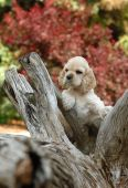 american cocker spaniel puppy standing an a piece of wood poster