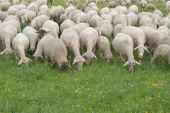 Flock of Sheep Grazing on a Grassy Pasture poster