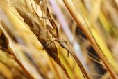 Spider in an ambush on wheat ear poster