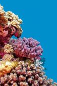 coral reef with violet hard corals poccillopora at the bottom of tropical sea on blue water background poster