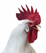 Portrait of white rooster with a large red comb wattles and earlobes isolated over white poster
