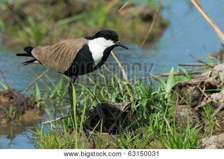 Spur-winged Plover (vanellus Spinosus) Alert On A Grassy Bank