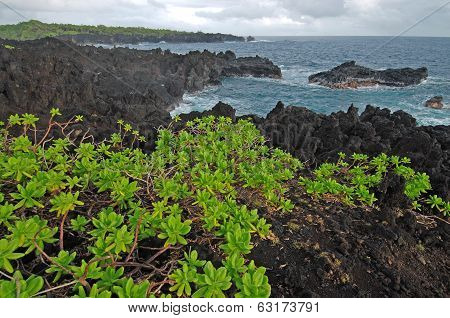 Naupaka growing on Waianapanapa Volcanic Rock Beach in Maui, Hawaii, USA poster