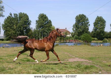 Arabian Horse Trot