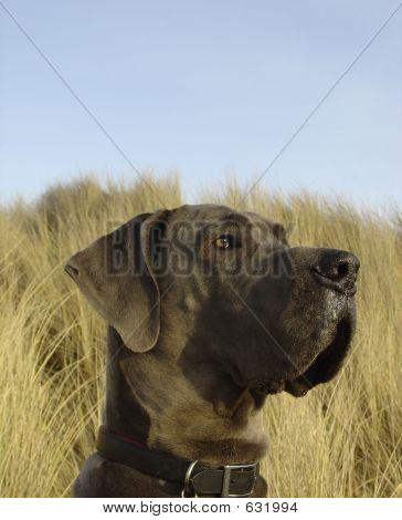 A large blue great dane enjoying a sunset on the beach sand dunes. poster