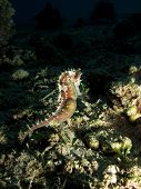 A pregnant brown thorny seahorse on coral rubble poster