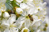 Bee tcollecting pollen from whitepear blossoming flowers. Spring season. poster