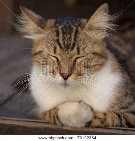 poster of Fluffy cat with closed eyes relaxing on wooden floor