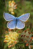 butterfly (liceaidas idea) widflower (anthillis vulneraria) budai-mounten poster