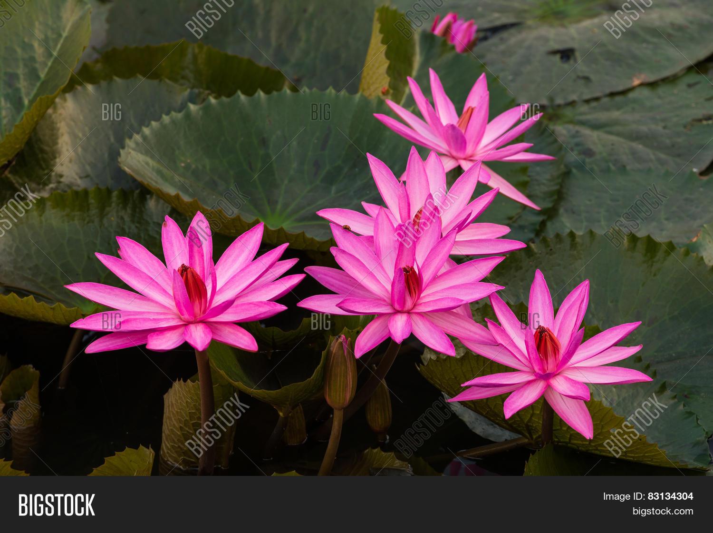 Pink Color Fresh Lotus Image Photo Free Trial Bigstock