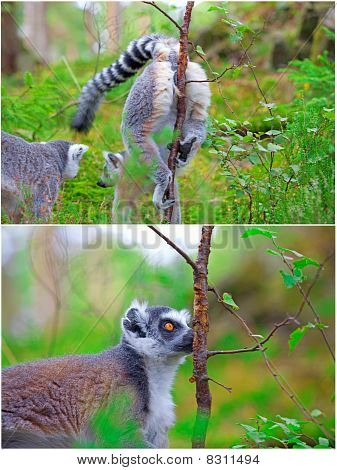 Two pictures of lemurs. A female marking her territory on the first one and a male finding her scent on the other poster
