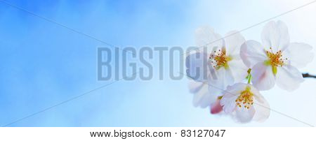 Cherry blossom flowers under a beautiful clear blue spring sky.  Shallow depth of field.