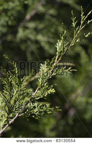 Alabama Red Cedar Bough - Juniperus virginiana