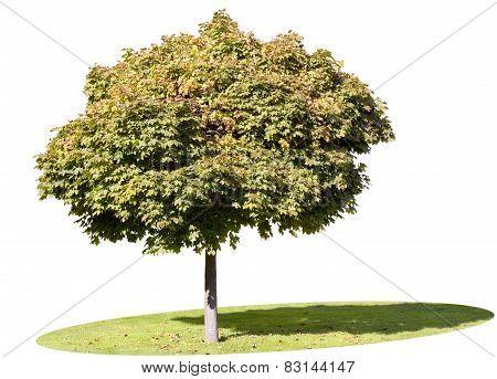 Isolated Autumn Maple