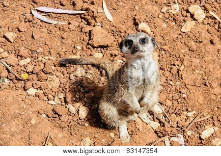 Meerkat Looking Up At The Camera