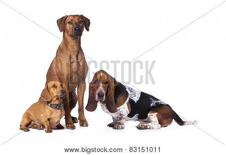 group of dogs, Rhodesian ridgeback  dog, Basset Hound,dachshund