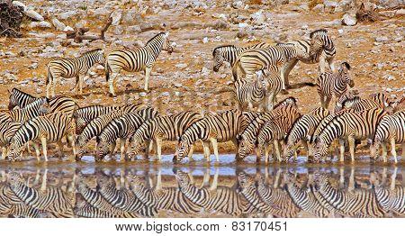 Herd of Zebras drinking form a waterhole