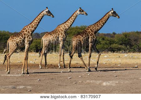 Giraffes, Three In A Row