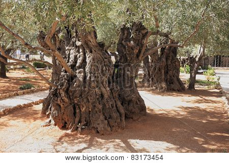 Eternal holy Jerusalem. Very ancient olive trees in the Garden of Gethsemane