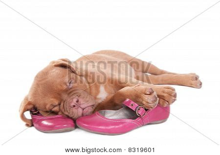 Cute Puppy sleeping sweetly on pink shoes poster