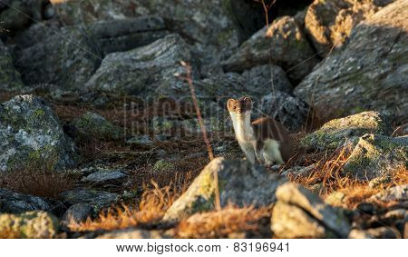 A least weasel in it's natural habitat in the Norwegian mountains. poster