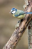 Blue Tit perched on rotten branch with food in bill poster