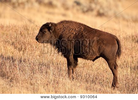 Yearling Bison
