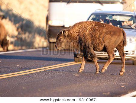 Yearling Bison Blocks Traffic