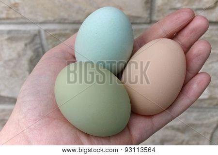 Araucana hens green and blue eggs
