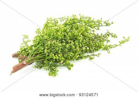 Siamese neem tree Nim Margosa Quinine Azadirachta indica A. Juss. Var. Siamensis Valeton poster