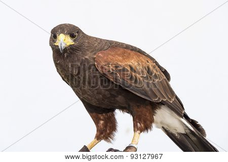 Eagle Closely Watching Intently
