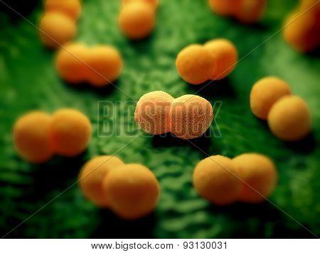 Neisseria meningitidis or meningococcus