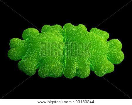 Euastrum oblongum desmid green alga.