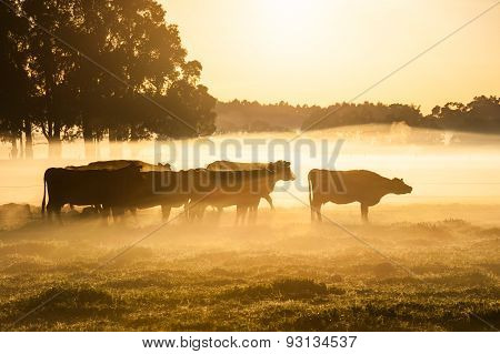 Cattle In A Golden Dawn