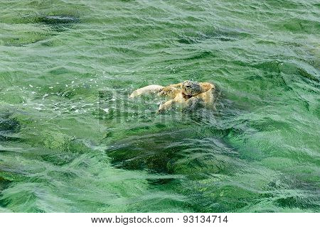 Turtle In Turquoise Water