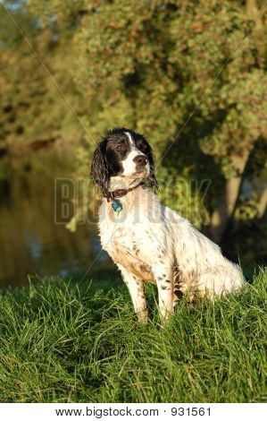 English Springer Spaniel By The River
