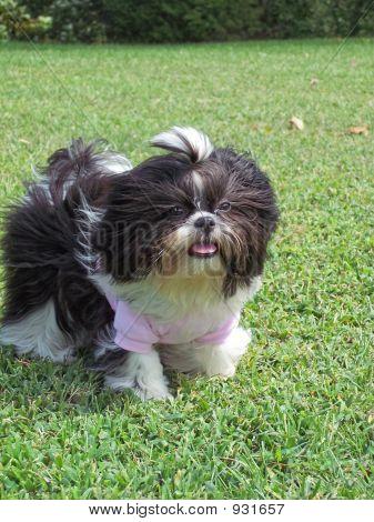 Windblown Dog