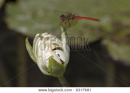 A dragonfly perches on a lily
