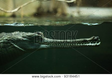 Gharial (Gavialis gangeticus), also knows as the gavial.